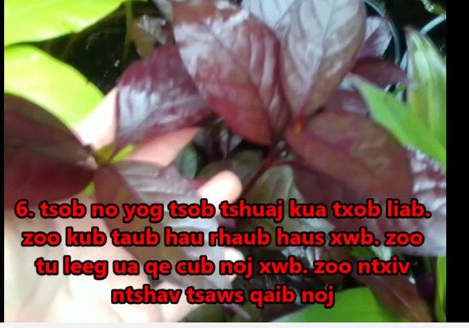 Tshuaj NTSUAB - Page 4 20810