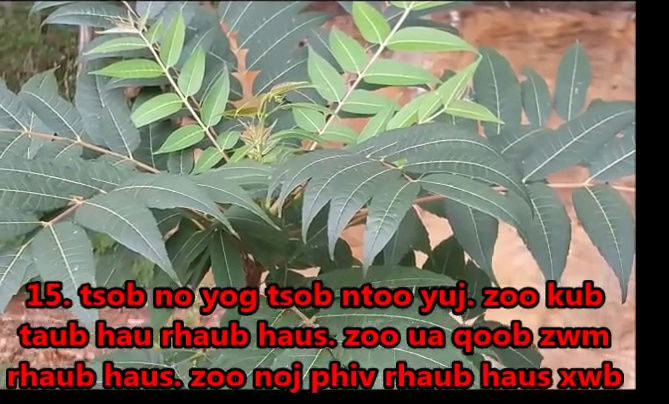 Tshuaj NTSUAB - Page 4 21110