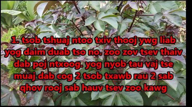 Tshuaj NTSUAB - Page 4 21310