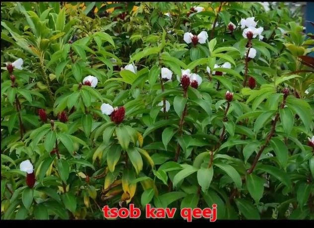 Tshuaj NTSUAB - Page 3 2310