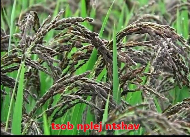 Tshuaj NTSUAB - Page 3 2710