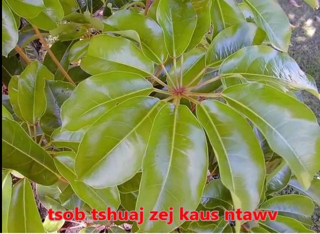 Tshuaj NTSUAB - Page 3 3010