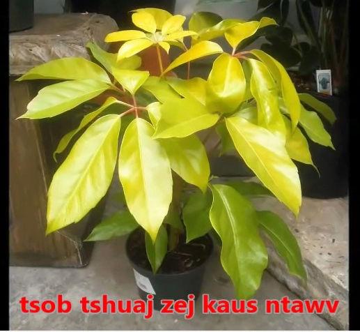 Tshuaj NTSUAB - Page 3 3110