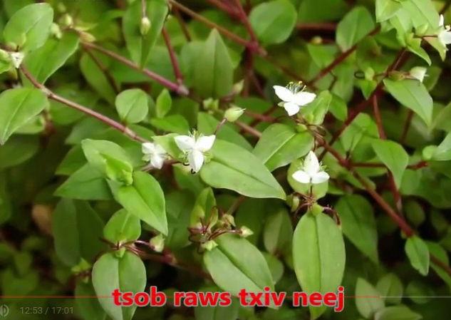 Tshuaj NTSUAB - Page 3 3510