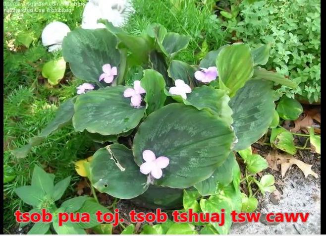 Tshuaj NTSUAB - Page 3 4010