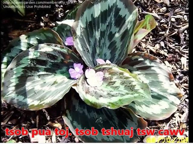 Tshuaj NTSUAB - Page 3 4110