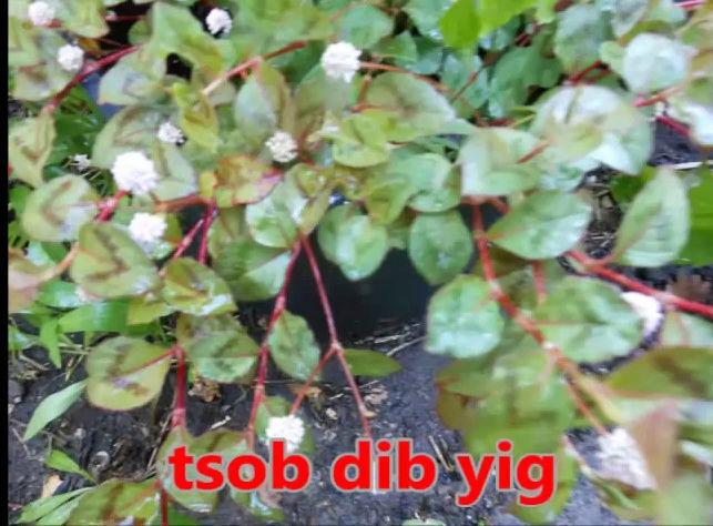 Tshuaj NTSUAB - Page 3 5010