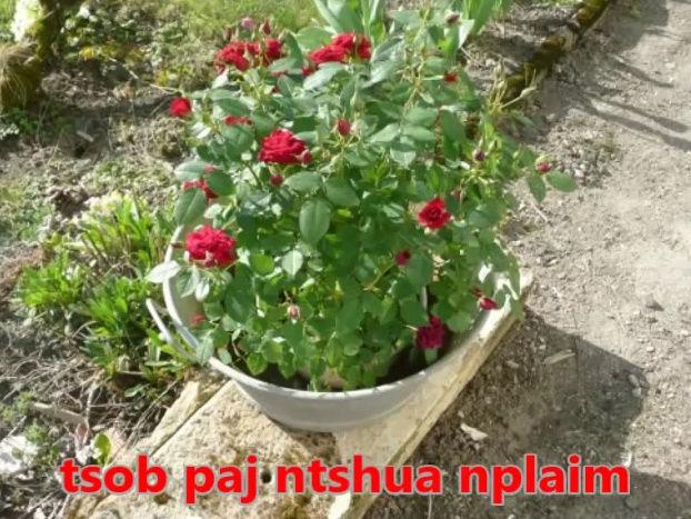 Tshuaj NTSUAB - Page 3 5810