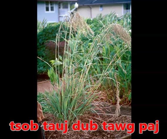 Tshuaj NTSUAB - Page 3 67ter10