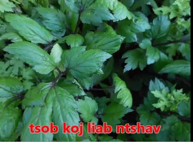 Tshuaj NTSUAB - Page 3 7510