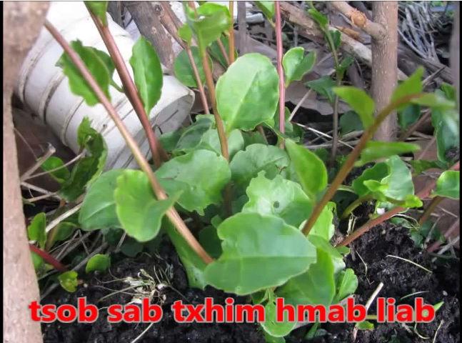 Tshuaj NTSUAB - Page 3 7810