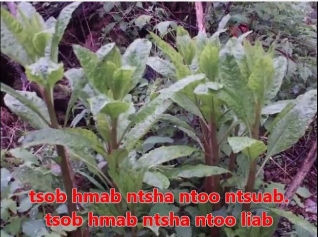 Tshuaj NTSUAB - Page 3 810