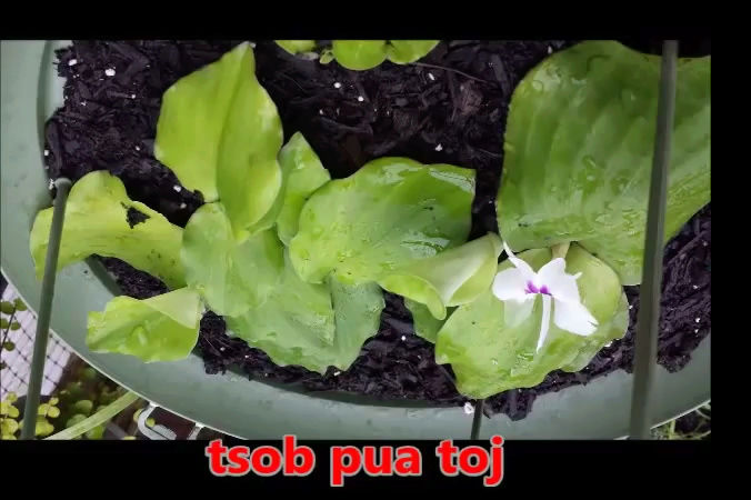 Tshuaj NTSUAB - Page 3 8110