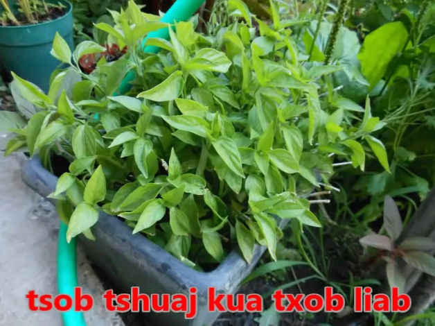 Tshuaj NTSUAB - Page 3 8510