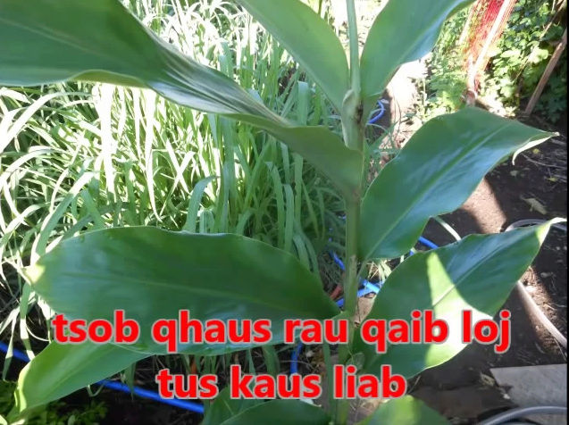 Tshuaj NTSUAB - Page 3 9010