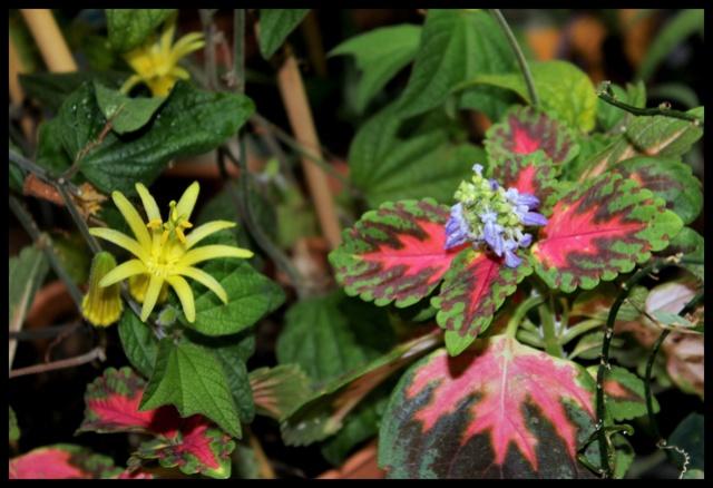le jardin s'endort ... quoique - Page 2 Coleus10