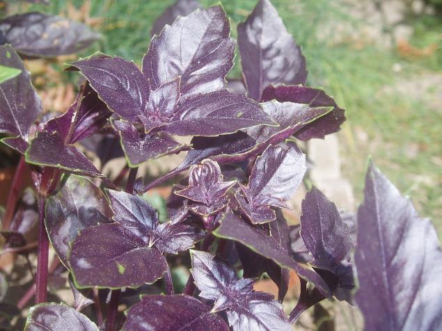 légumes et condiments décoratifs  Ocimum10