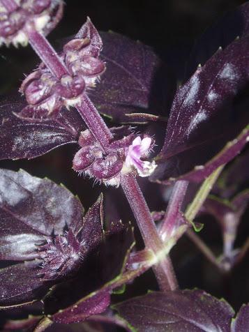 légumes et condiments décoratifs  Ocimum11