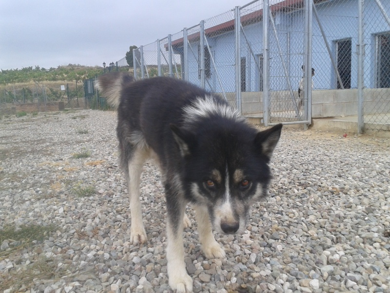 Chispi mâle malamute/husky de 8 ans a passé sa vie attaché (Alava, Espagne ) - Page 4 2012-010