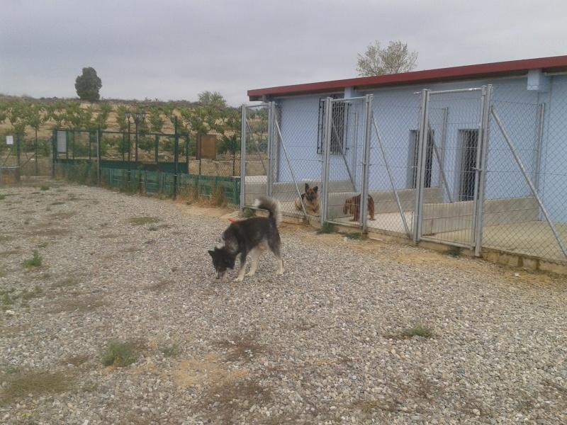 Chispi mâle malamute/husky de 8 ans a passé sa vie attaché (Alava, Espagne ) - Page 4 2012-012