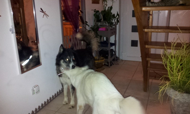 Chispi mâle malamute/husky de 8 ans a passé sa vie attaché (Alava, Espagne ) - Page 8 20121023