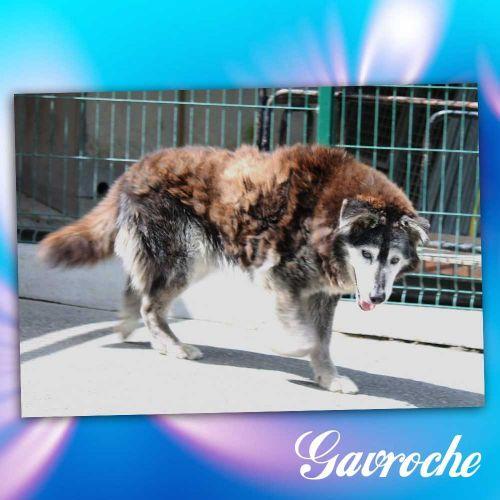GAVROCHE husky 15 ans adorable, sociable,affectueux cherche adoptant ou fa REF:87DECEDE 500_4610