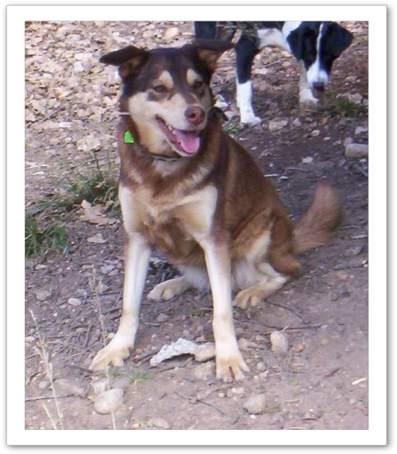 MILKA X Husky née en 2010 non fugueuse, sociable REFU13 Bv000010