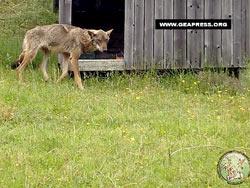 Bologne - Une louve sauvée par un berger Sans-t32