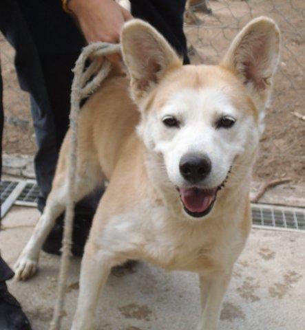 ANOUCK croisé husky trés gentil,  beige et blanc plein de vie 11/2006/ REF:66 ADOPTE Web_ch13