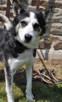 WIKI, x Husky noir et blanc, né 06/2009, ok chiens chats REFU:29  Wiki12