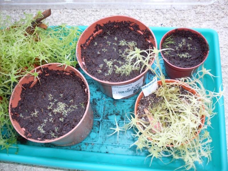 Que dois-je faire maintenant avec ces Jeunes semis de D. capensis? Sdc13615