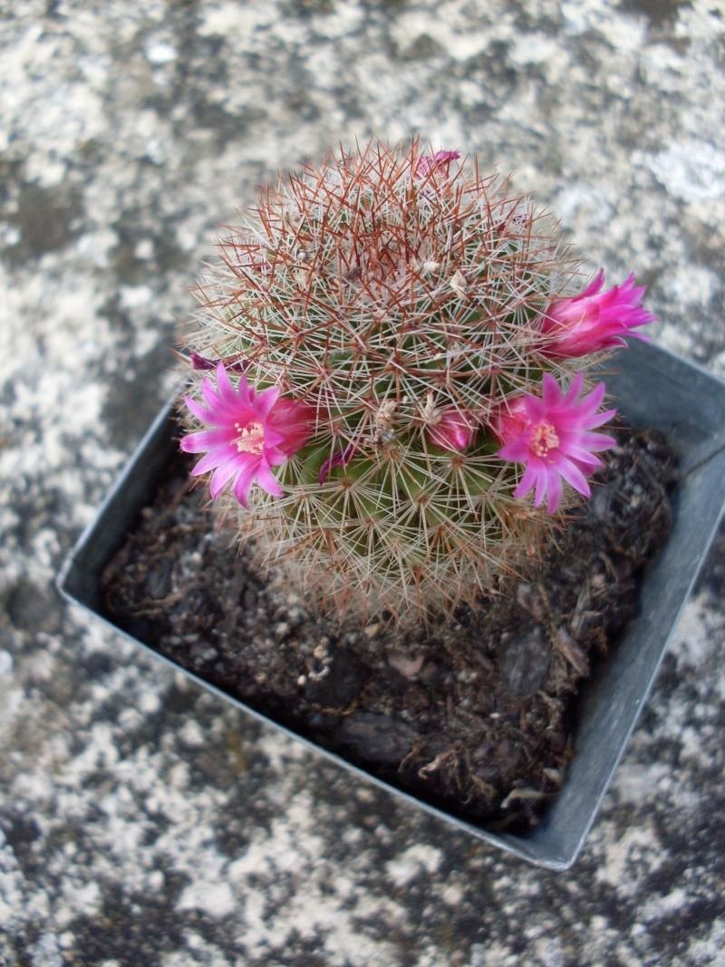 Identification cactus avec fleur! Sdc15310