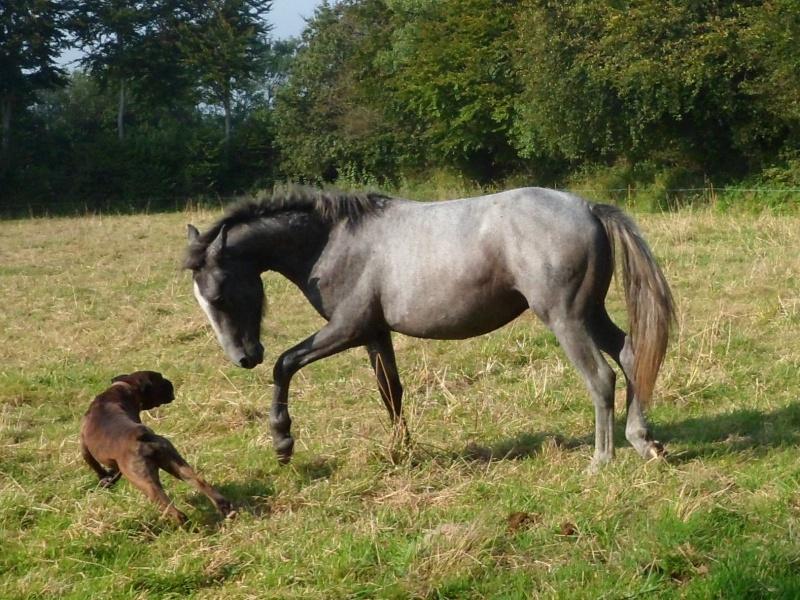 Cause cessation vends étalon approuvé et autres chevaux PP camargue Benide11