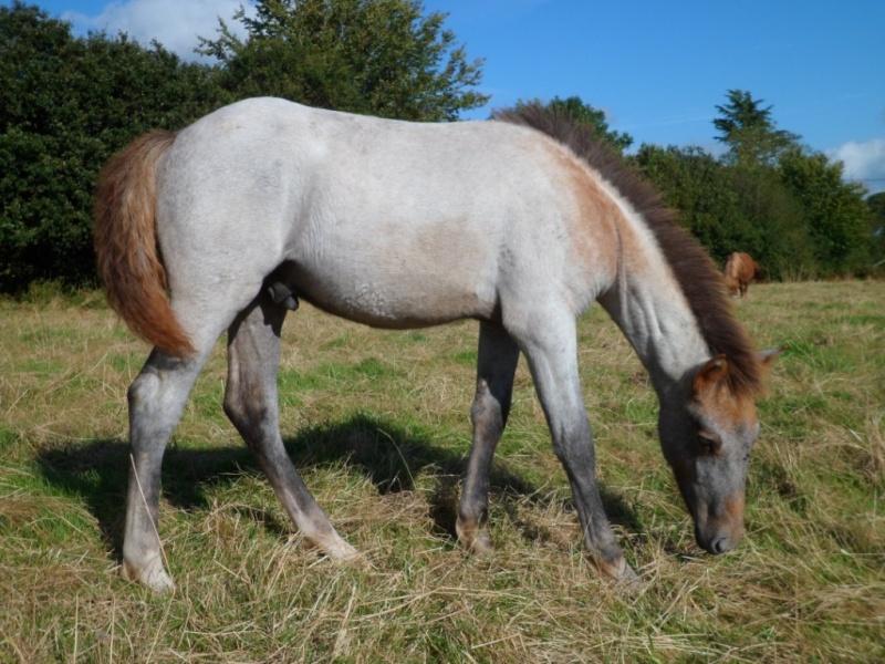 Cause cessation vends étalon approuvé et autres chevaux PP camargue Cigalo11