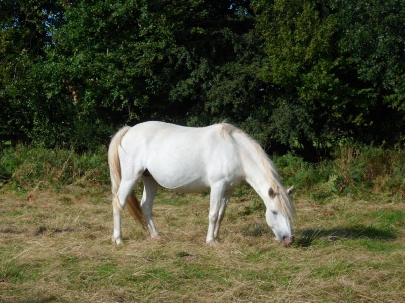 Cause cessation vends étalon approuvé et autres chevaux PP camargue Rime10