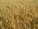 Etat des blés durs Karur_11