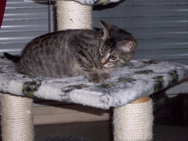 KALIE - NEE EN JUIN 2012 - Femelle tigrée marron 100_6110