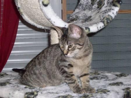 KALIE - NEE EN JUIN 2012 - Femelle tigrée marron 110