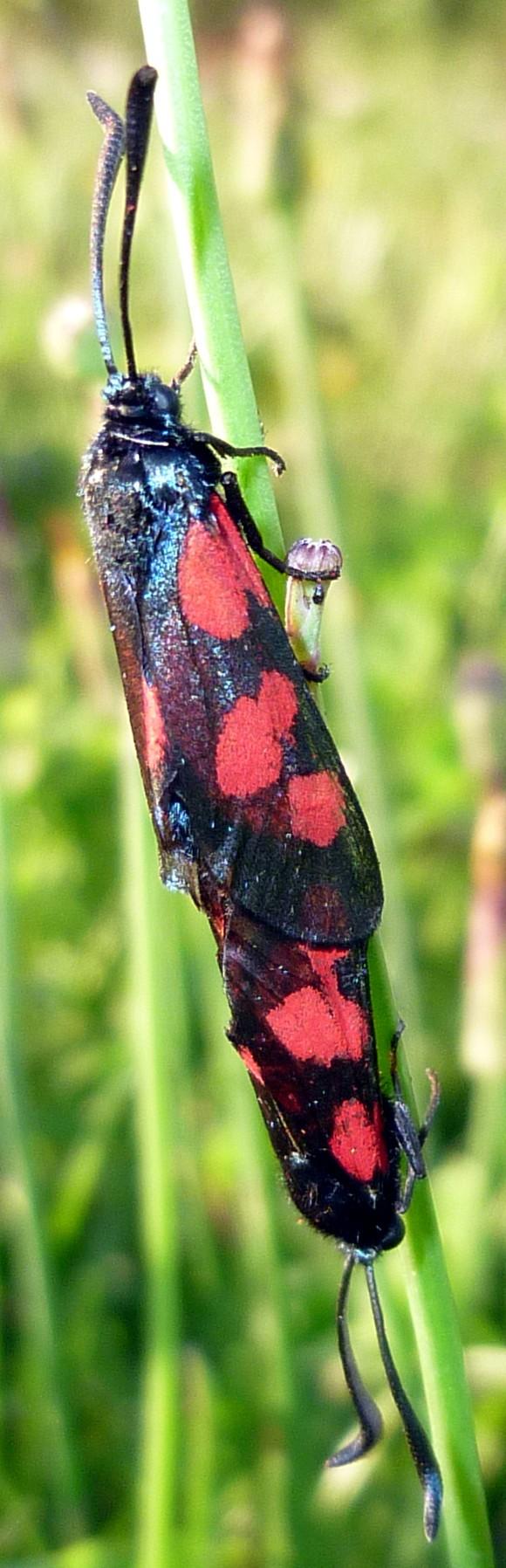 [Zygaena sp (trifolii??)]/papillon rouge et noir ? P1060512