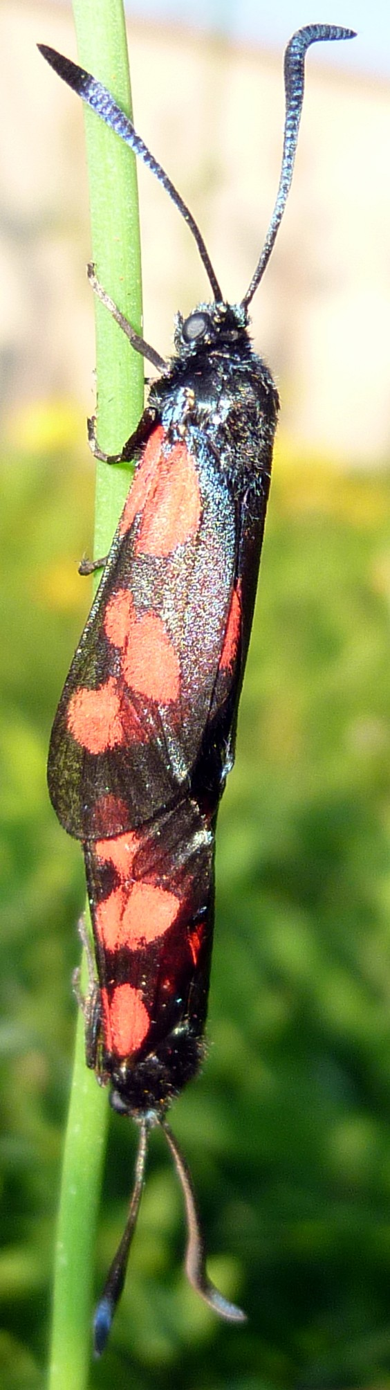 [Zygaena sp (trifolii??)]/papillon rouge et noir ? P1060513
