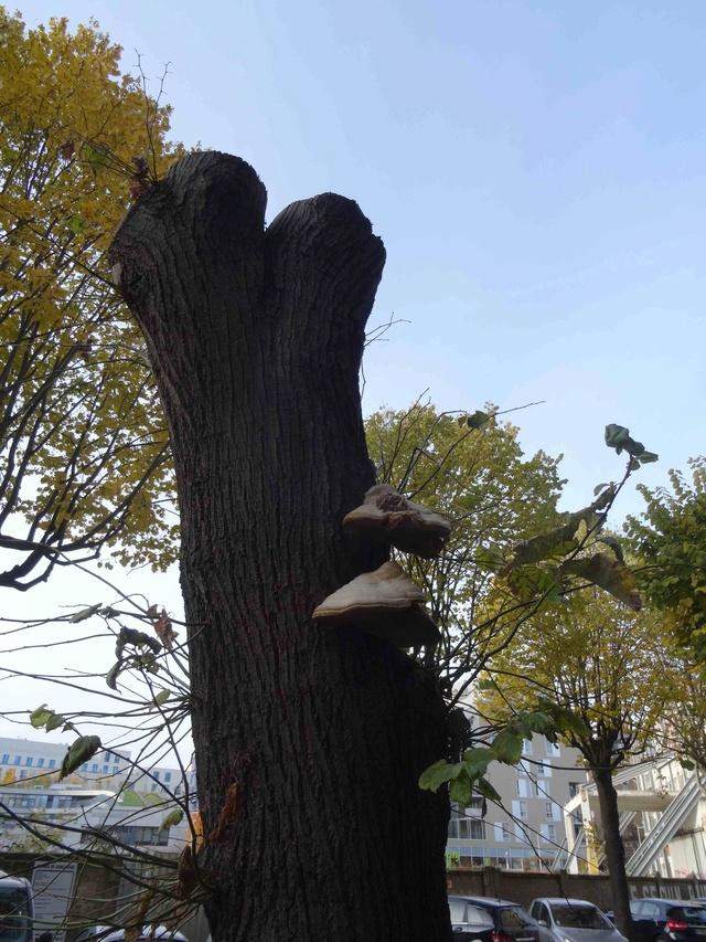 Etat sanitaire des arbres Dsc06423