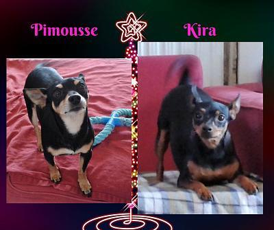Kira et Pimousse, pinschers de 3 ans à adopter ensemble 77 Pimous10