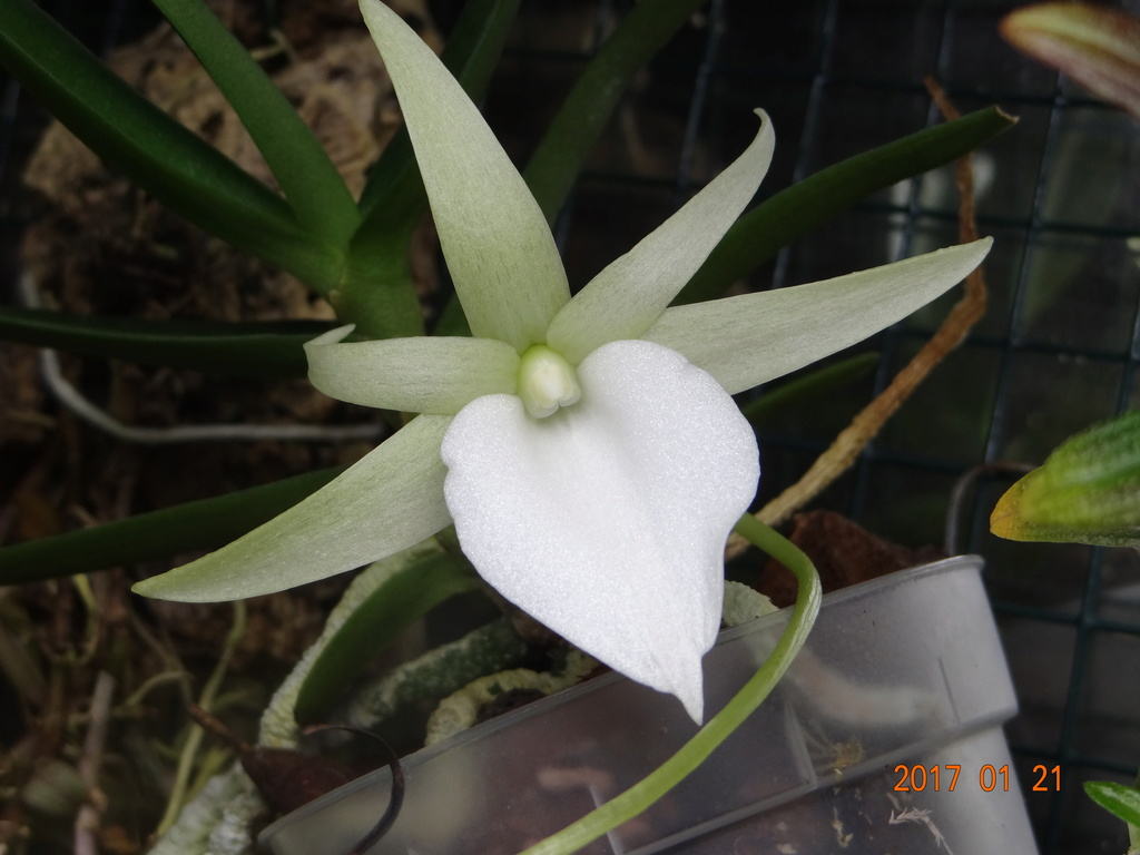 Floraison Angreacum didieri. Dsc08514