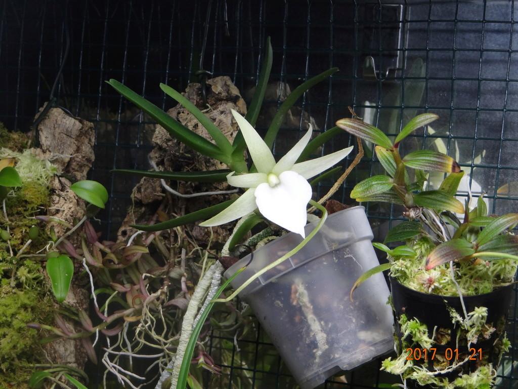 Floraison Angreacum didieri. Dsc08515