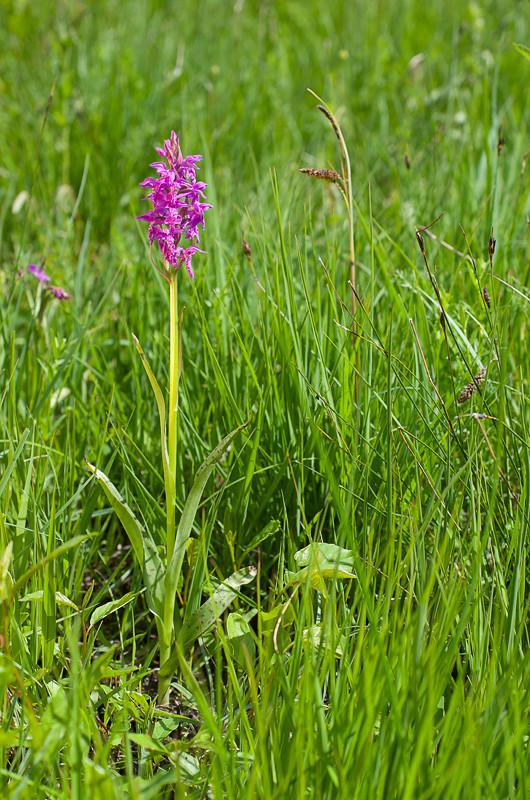 Dactylorhiza et orchidées des marais (38, 73 et 74) Imgp0413