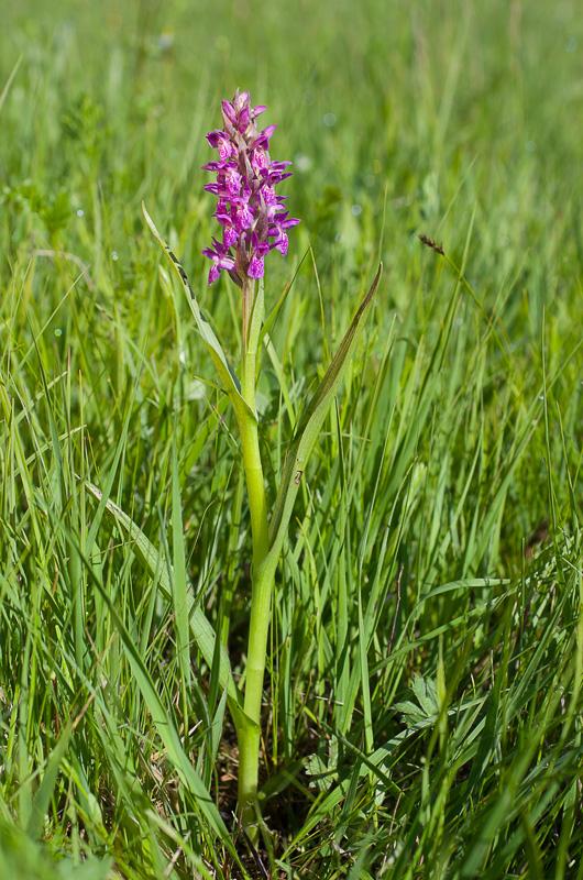 Dactylorhiza et orchidées des marais (38, 73 et 74) Imgp0510