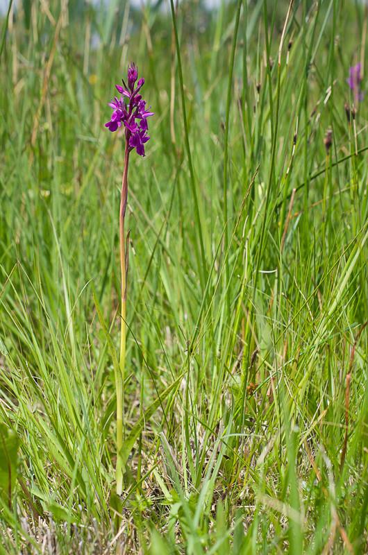 Dactylorhiza et orchidées des marais (38, 73 et 74) Imgp0912