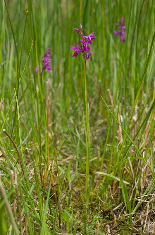 Dactylorhiza et orchidées des marais (38, 73 et 74) Imgp1212