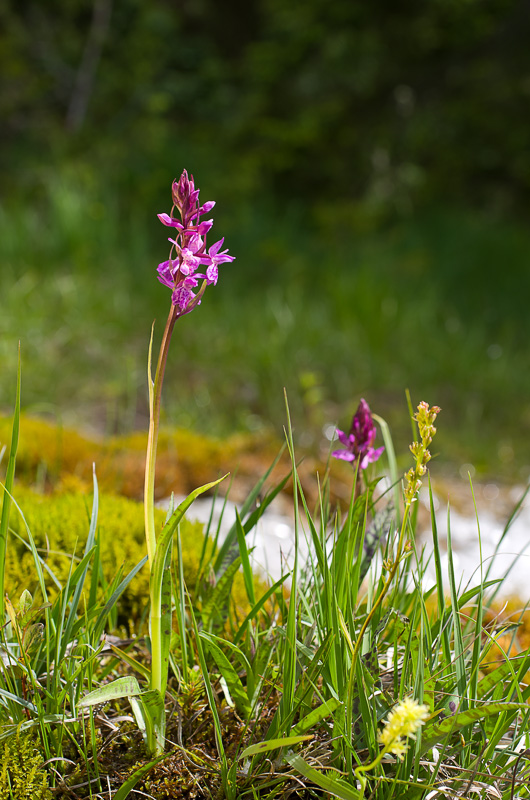 Dactylorhiza et orchidées des marais (38, 73 et 74) Imgp1411