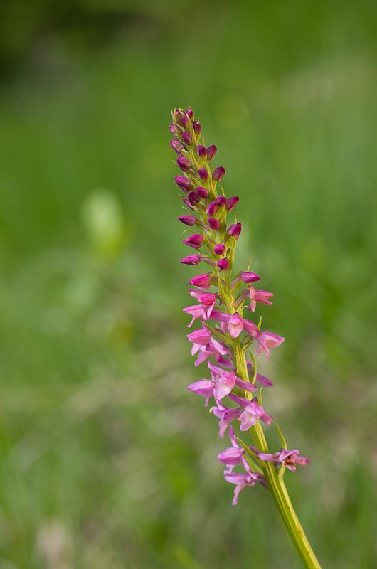 Dactylorhiza et orchidées des marais (38, 73 et 74) Imgp1412
